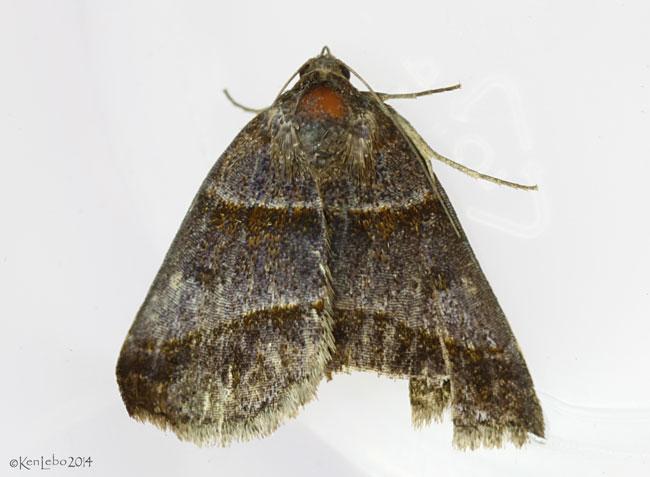 Woodland Chocolate Moth Argyrostrotis sylvarum #8760