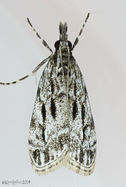 Striped Eudonia Moth Eudonia strigalis #4738