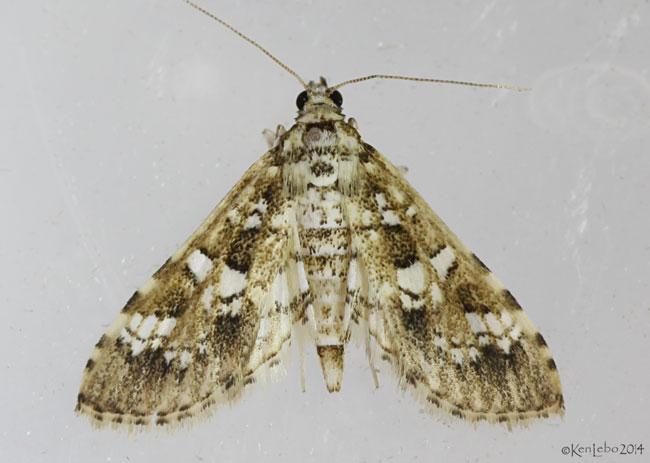 Salvinia Stem-borer Moth Samea multiplicalis #5151