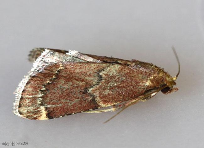 Red-shawled Moth Pseudasopia intermedialis #5526