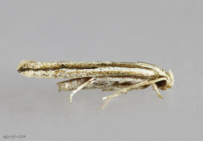 Janes Ymeldia Moth Ymeldia janae #2216