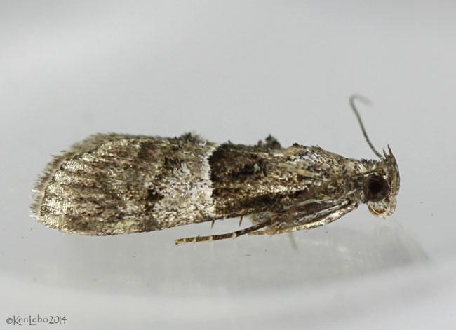 Zellers Epipaschia Moth Macalla zelleri  #5579