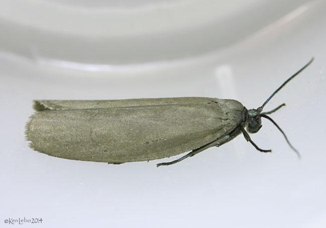 Bumelia Webworm Moth Urodus parvula #2415