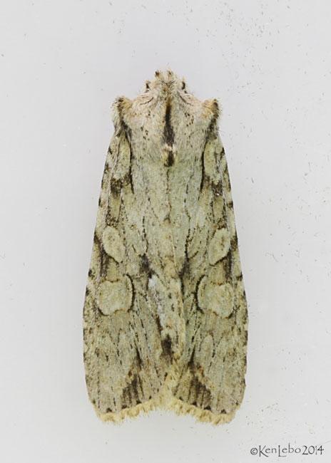 Dashed Gray Pinion Moth Lithophane disposita #9892