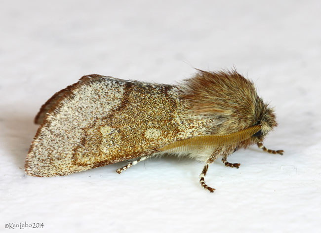 Fawn Sallow Moth Psaphida styracis #10016