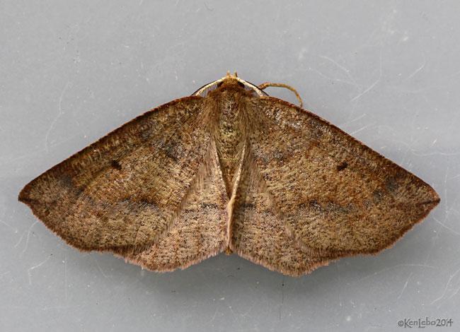 Ruddy Metarranthis Moth Metarranthis duaria #6822