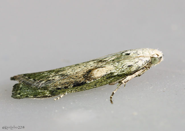 The Bee Moth Aphomia sociella #5629