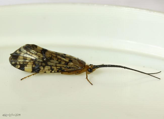 caddisfly - Banksiola