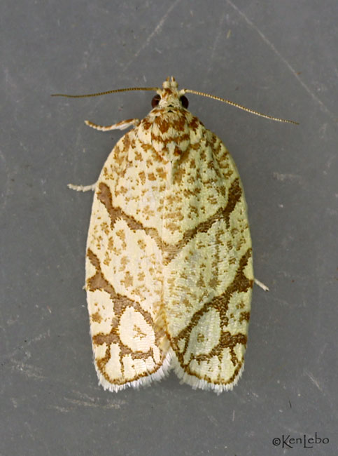 Yellow-winged Oak Leafroller Moth Argyrotaenia quercifoliana #3623