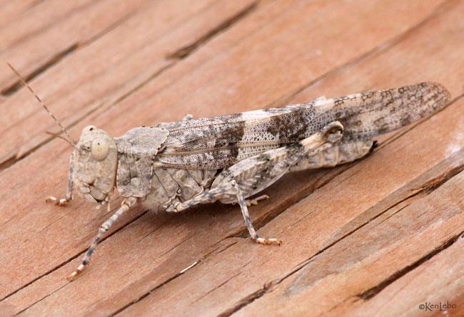 Band-winged Grasshopper Trimerotropis pallidipennis