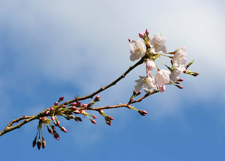 49 blossom, buds, blue and cloud