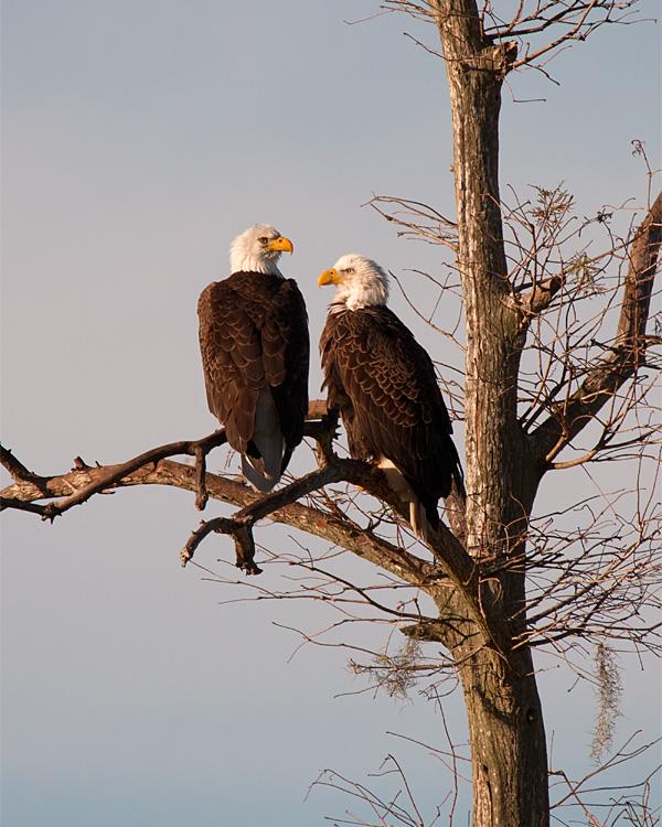 Bald Eagle Couple.jpg