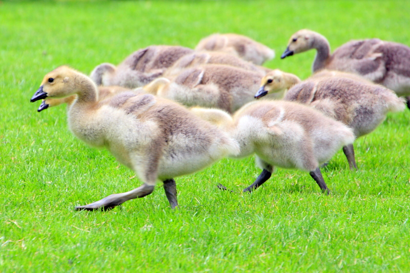 Young geese, Governor Tom McCall Waterfront Park, Portland, Oregon
