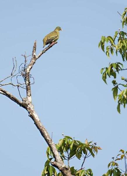 Tick-billed Green Pigeon