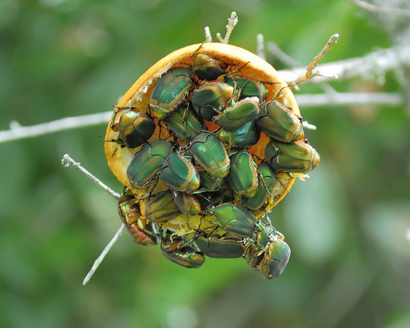figeater beetle BRD2316.JPG photo - Joseph Kennedy photos ...