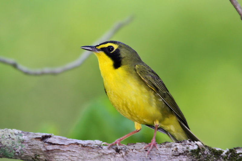 IMG_5716a Kentucky Warbler - male.jpg