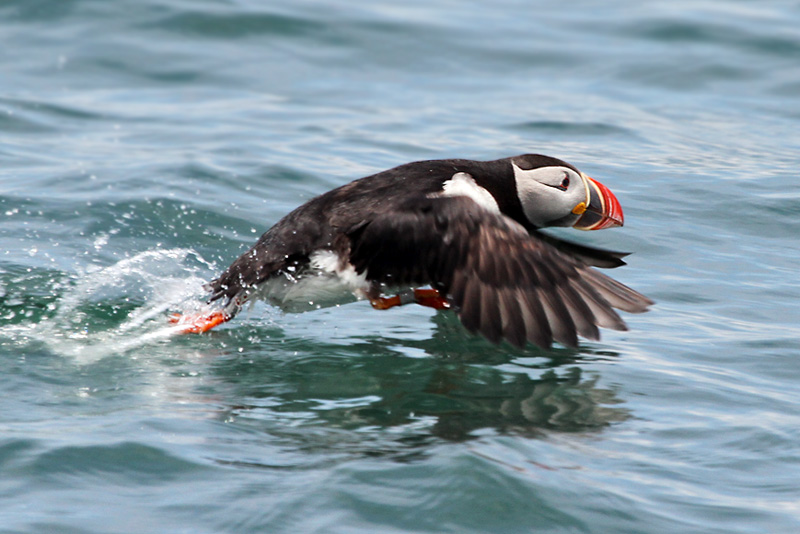 IMG_8192 Atlantic Puffin.jpg