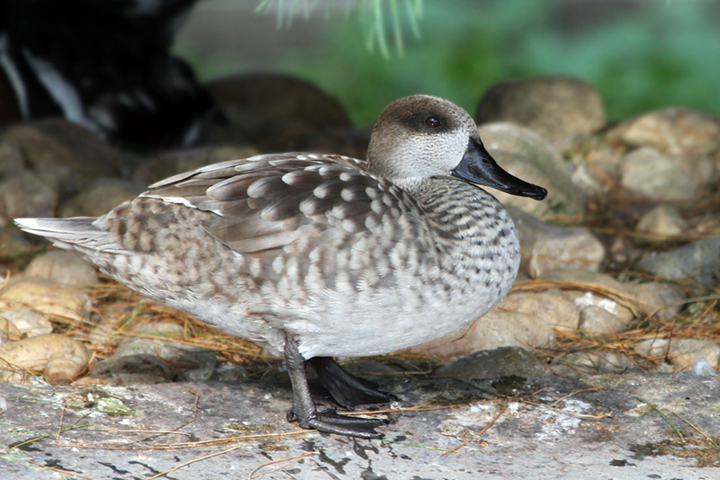 IMG_0688 Marbled Teal.jpg