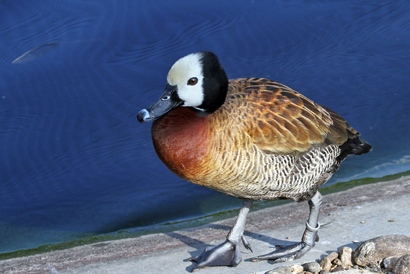IMG_0638 White-faced Whistling Duck.jpg
