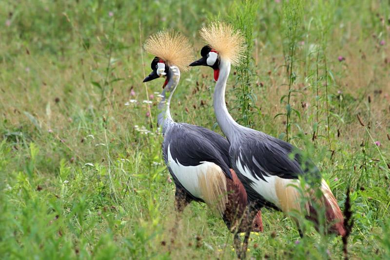 IMG_0898 Grey-crowned Crane.jpg