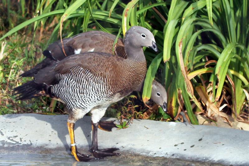IMG_0935 Ashy-headed Goose.jpg