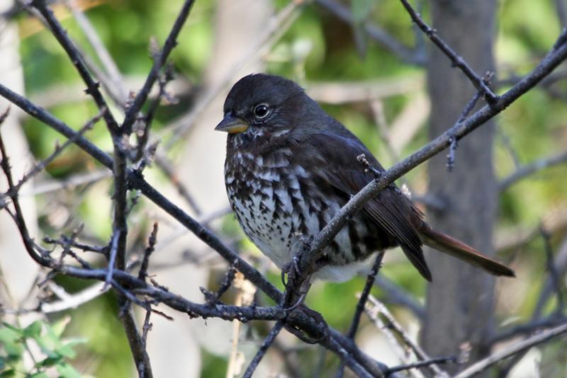 IMG_8701 Fox Sparrow.jpg