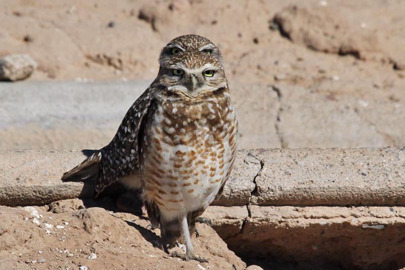 IMG_9233 Burrowing Owls.jpg