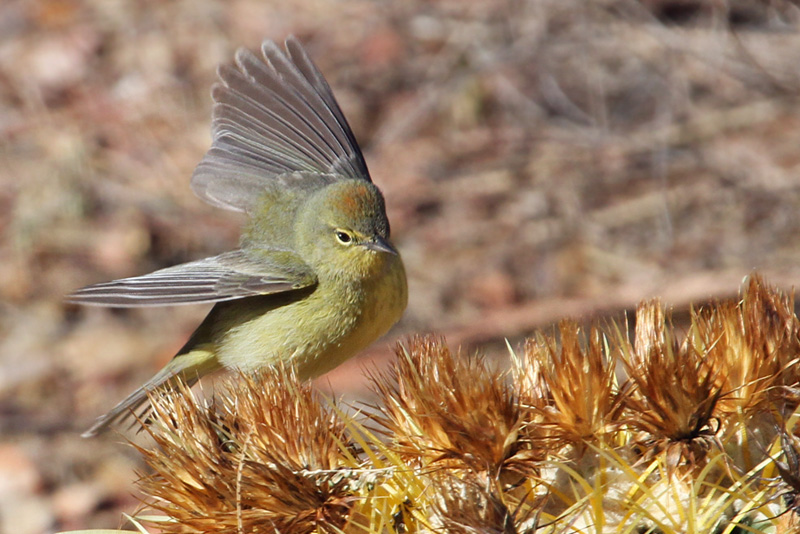 IMG_4636 Orange-crowned Warbler.jpg