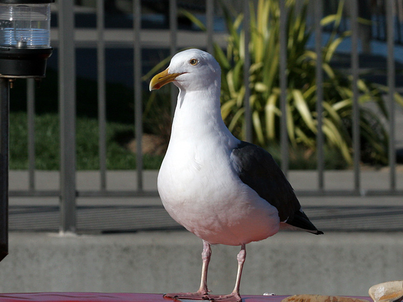 IMG_3486a Western Gull.jpg
