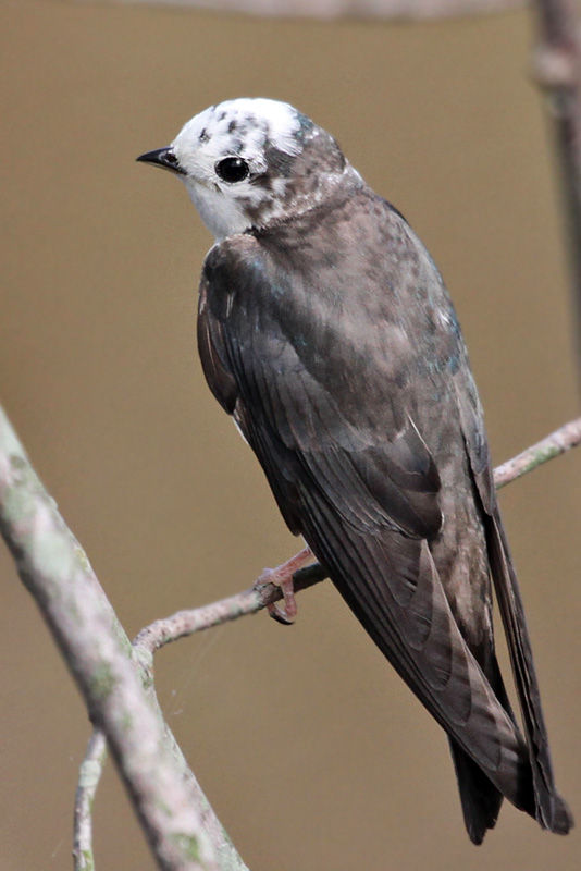 IMG_3726a Tree Swallow leucistic.jpg