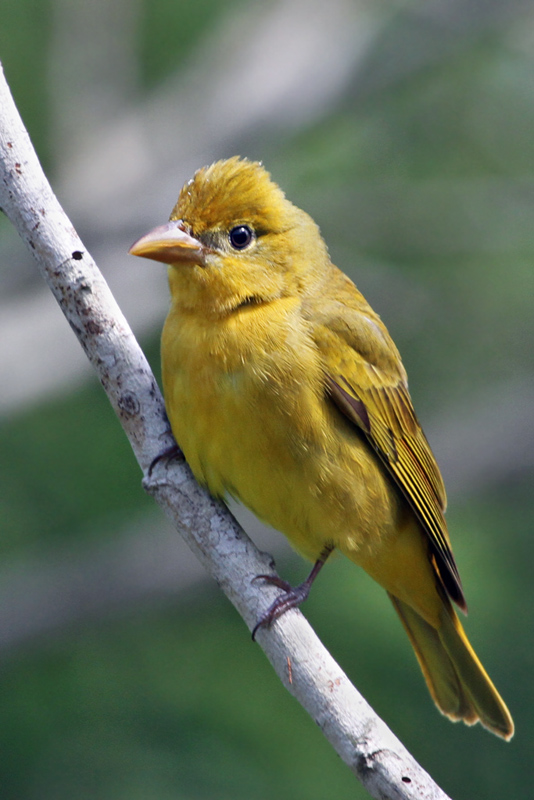 IMG_0722a Summer Tanager female.jpg