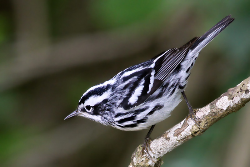 IMG_3463a Black-and-white Warbler.jpg