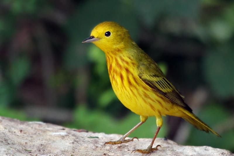 IMG_3473a Yellow Warbler male.jpg