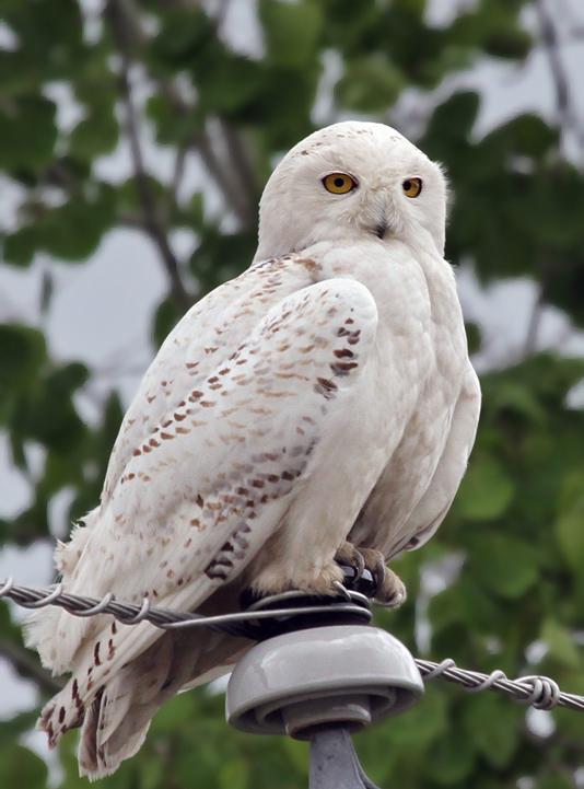 IMG_5101ac Snowy Owl.jpg