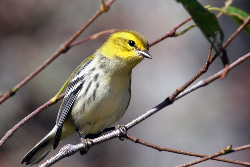 IMG_9654 Black-throated Green Warbler.jpg