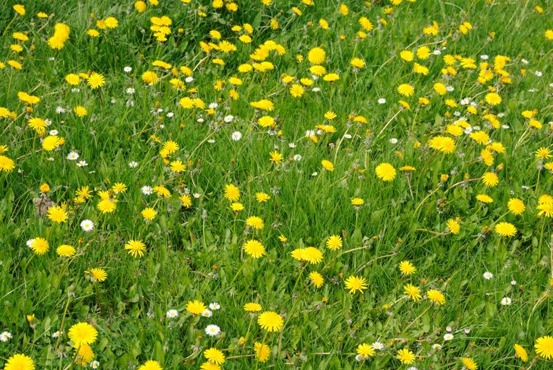 7 May: Dandelions