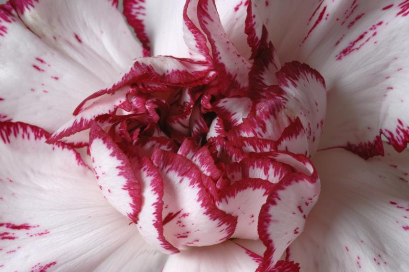 12 May: Carnation