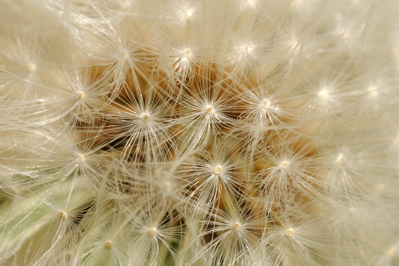 16 May: Dandelion Clock