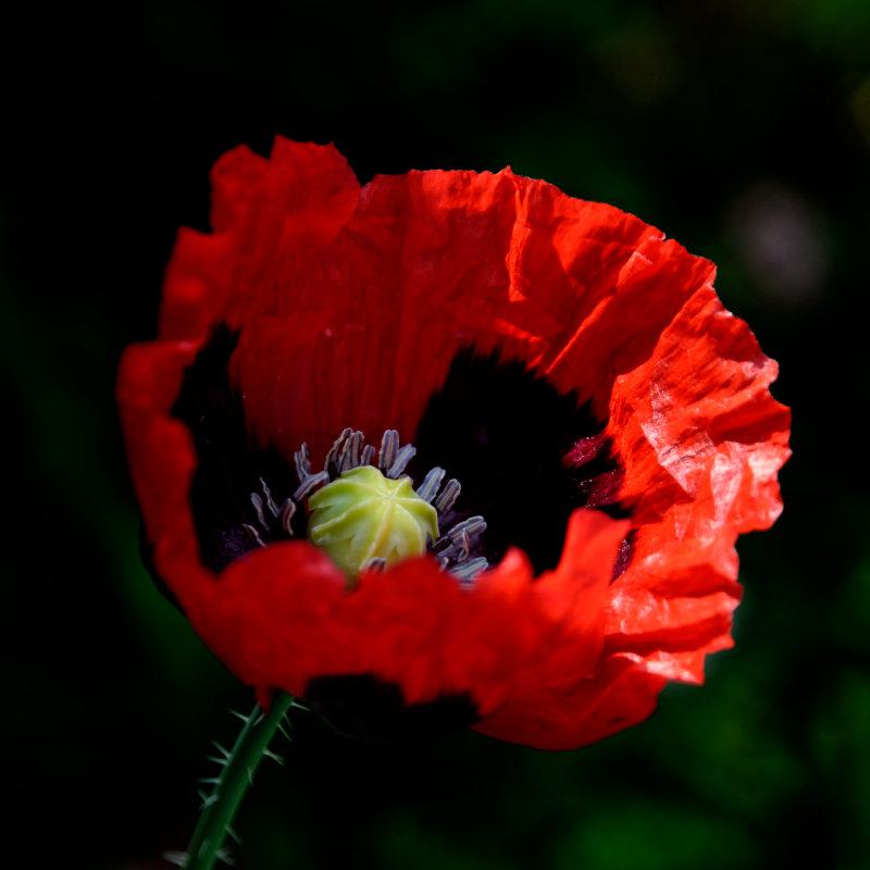 self-seeded dark poppy