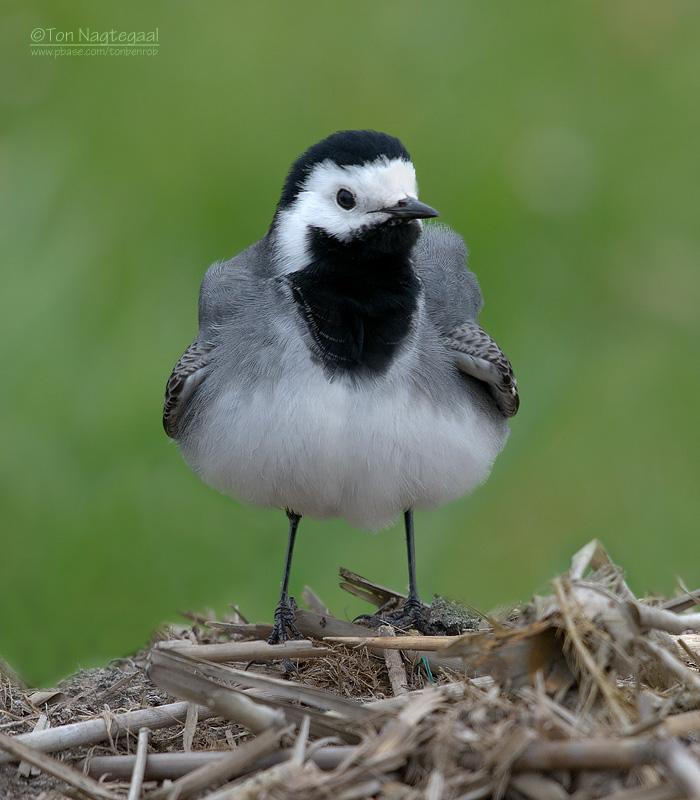 Wittekwikstaart - White wagtail - Motacilla alba