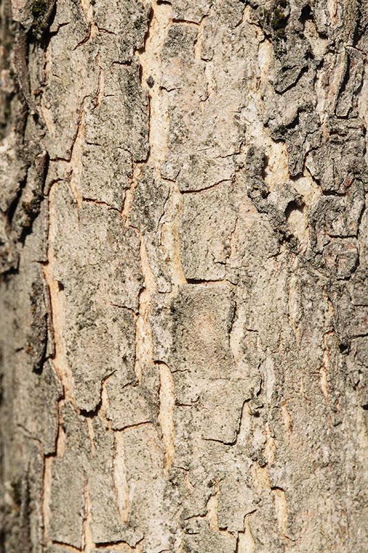 Bark of cornelian cherry Cornus mas lubje rumenega drena_MG_95881-11.jpg