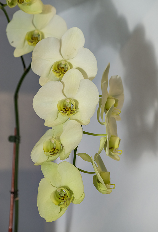 Shadowy orchids
