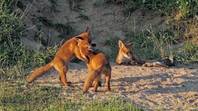 Fox cubs video