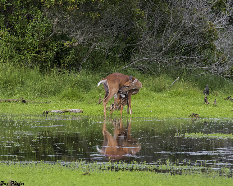 Nursing Fawn and Mother at a Small Pond