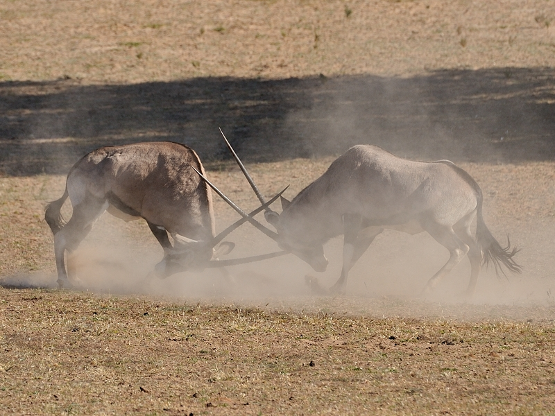 A serious Oryx fight