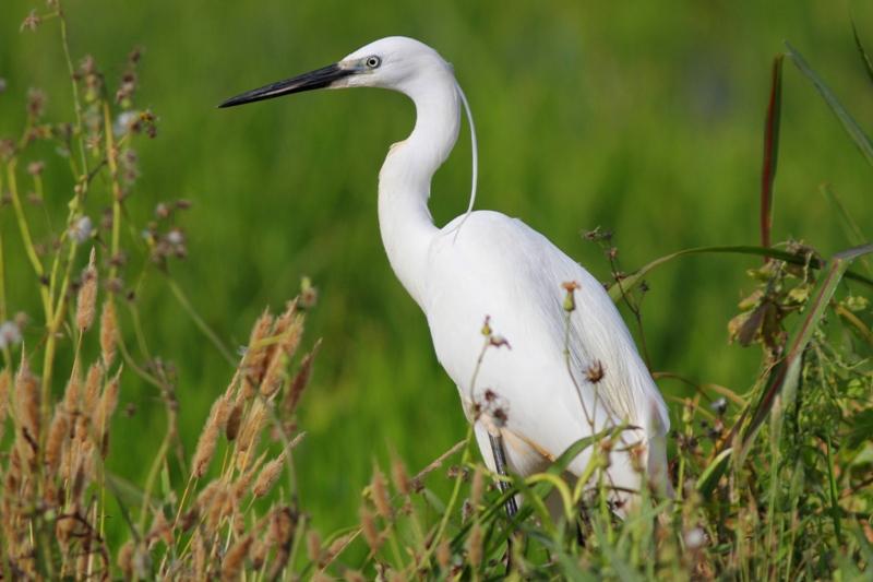 Little Egret - Egretta garcetta - Garceta común - Martinet Blanc