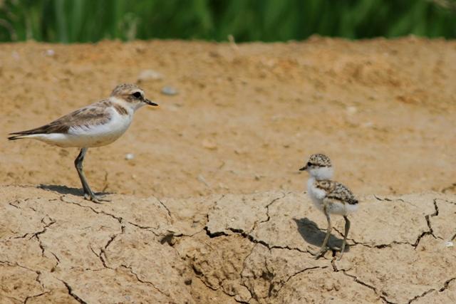 Adult female and a chick Kentish Plover - Charadrius alexandrinus - Chorlitejo patinegro - Corriol camanegre