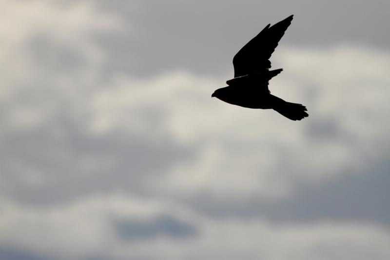 Peregrine Falcon - Falco peregrinus - Halacon peregrino - Falco peregrí