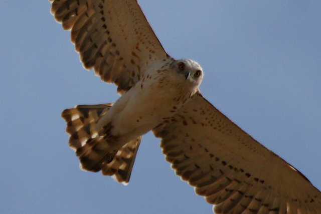 Short toed Eagle - Circaetus gellicus - Aguila marcenca - Aguila culebrera