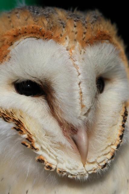 Barn Owl - Tyto alba possible gutata - Lechuza - Òliba